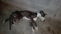Nicol, mi perro pit bull hembra, tiene diarrea, dificultad al masticar y dificultad al tragar