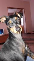 Tengo dudas sobre embarazo o reprodución de Kuki, mi perro pinscher miniatura hembra