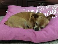 Chispi, mi perro cruce de chihuahueño hembra, tiene secreción en pene/vagina