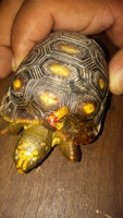 Pepa Alejandra, mi reptil tortuga hembra, tiene heridas