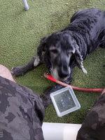 Desorientación en perros, Cocker spaniel americano