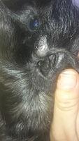 Gordi, mi roedor cobaya macho, tiene un problema dermatológico y salud