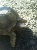 Mal apetito en reptiles, Tortuga