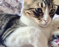 Dificultad para orinar en gatos, Común europeo