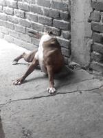 Desorientación en perros, Pit bull