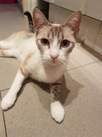 Ojos rojos en gatos, Siamés