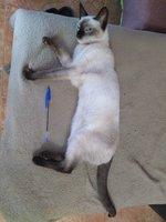 Mia, mi gato siamés hembra, tiene vómito, mucho moco en la nariz y estornudos