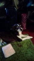 Isidora, mi perro desconocida hembra, tiene sangre en orina