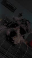 Fluido vaginal en perros, Schnauzer miniatura