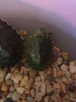 Cojera en reptiles, Tortuga