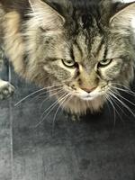 Ónix, mi gato maine coon macho, tiene dificultad para orinar, orina en casa y orina muy poco