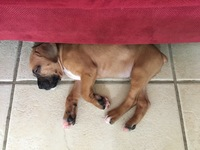 Draco, my male dog boxer, has poor appetite and diarrhea