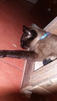 Vómito con sangre en gatos, Siamés