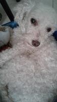 Agresiones en perros, Caniche