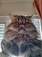 Dificultad al caminar o levantarse en gatos, Persa tradicional