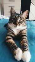 Orina en casa en gatos, Americano de pelo corto
