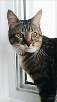Felipe, mi gato cruce de americano de pelo corto macho, tiene vómito, orina en casa y orina muy poco