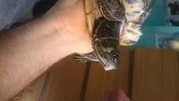 Heridas en reptiles, Tortuga orejas amarillas