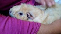 Dificultad para defecar en roedores, Cobaya abisinio