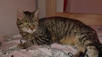 Dificultad para defecar en gatos, Europeo de pelo corto