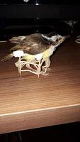 Mal apetito en aves, Cotorra argentina
