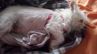 Kanna, mi perro cruce de caniche hembra, tiene secreción en pene/vagina