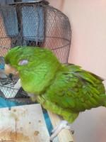 Mal apetito en aves, Perico esmeralda