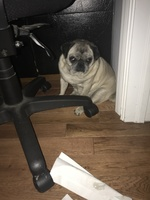 Urinates too much or too frequently en dogs, Pug