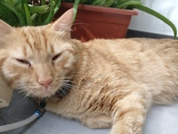 Mal aliento en gatos, Común europeo