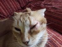 Leoncio, mi gato europeo de pelo corto macho, tiene pérdida de pelo