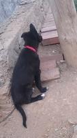 Tengo dudas sobre cómo alimentar a Thor, mi perro cruce de pastor alemán macho