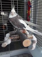 Ernesto, mi ave cacatúa ninfa hembra, tiene debilidad