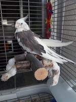 Debilidad en aves, Cacatúa ninfa