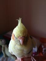 Genji, mi ave cacatúa ninfa hembra, tiene tos, estornudos y respiración ruidosa