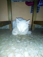 Dificultad para defecar en gatos, Khao manee