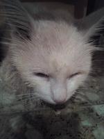 Sandy, mi gato khao manee macho, tiene dificultad para defecar