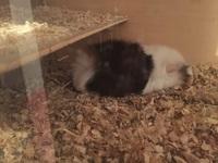 Kissy, mi roedor cobaya hembra, tiene diarrea, dificultad al tragar y sangrado anal