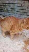 Dificultad para orinar en gatos, Americano de pelo corto