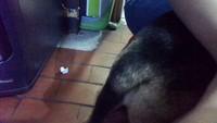 Agresiones en perros, Akita americano