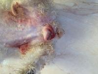 Fluido vaginal en perros, Caniche