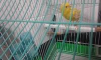 Ray, mi ave canario de raza española macho, tiene heridas y sobreexcitado