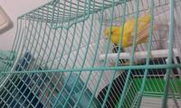 Sobreexcitado en aves, Canario de raza española