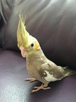 Estornudos en aves, Cacatúa ninfa