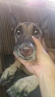 Ñ, mi perro pastor belga hembra, tiene sangrado de nariz y mucho moco en la nariz