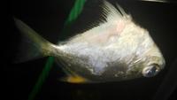 Tengo una duda sobre Légolas, mi pez angel marino macho