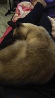 Dificultad al caminar o levantarse en gatos, Siamés