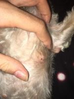 Fluido vaginal en perros, Bichon maltés