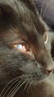 Secreción ocular en gatos, Común europeo