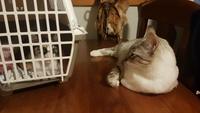 Gruñe en gatos, Siamés