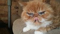 Secreción ocular en gatos, Persa tradicional